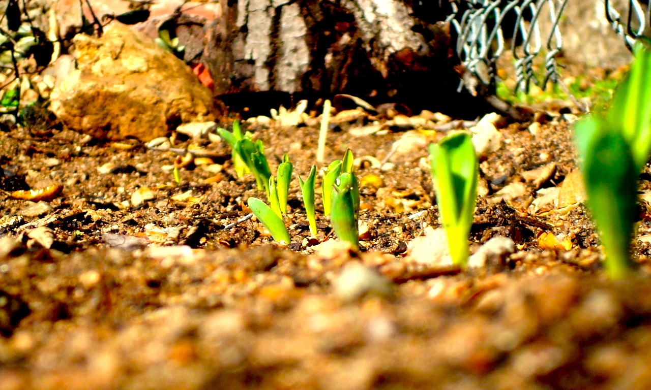 GreenCornSeedlings_pushed