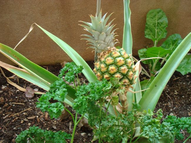 Earthship_Pineapple