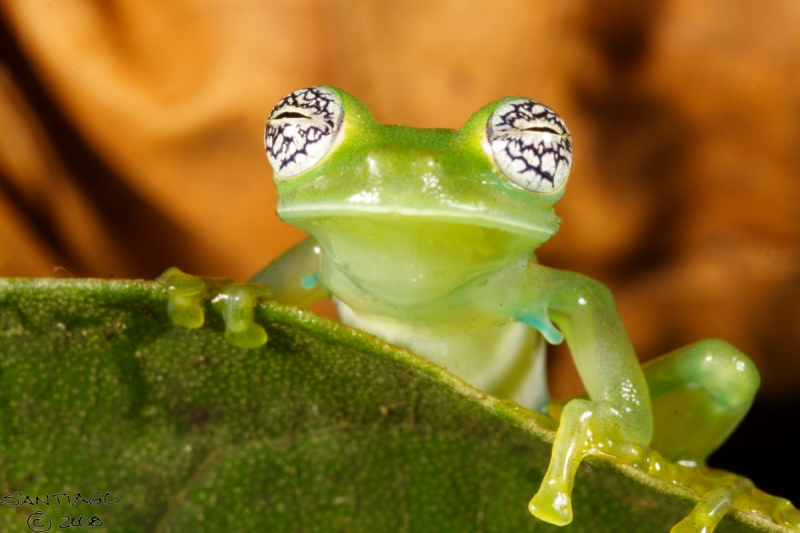 pretty-eyed-glass-frog-AmazonEcua